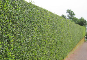 hedge-cutting-maintenance-notting-hill